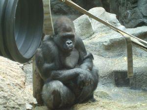 800px-Gorilla_Buffalo_Zoo